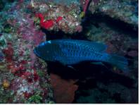 Midnight_Blue_Parrot_Fish.jpg