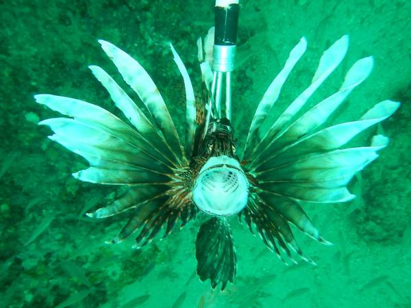 Lionfish Speared by Candy Hansard