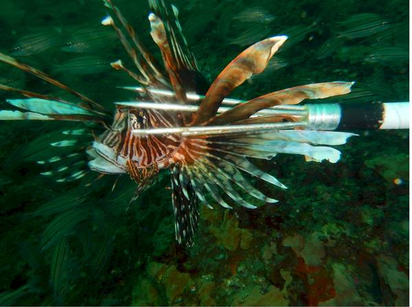Spearing Lionfish by Candy Hansard