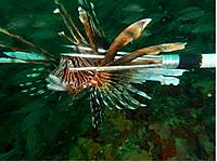 Lionfish_stab_with_good_color_sm.jpg