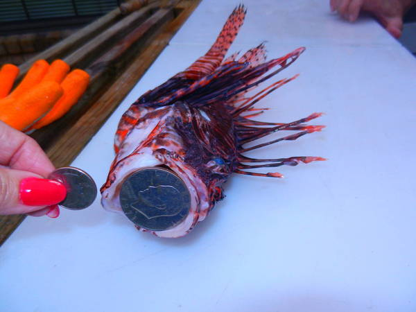 Lionfish Big Mouth Demonstration